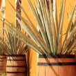 Agave americana ( tequila ingredient ) — Stock Photo