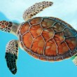 Endangered mexican turtles — Stock Photo