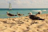 Seagulls on Mexican beach — Stock Photo