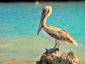 Majestic pelican — Stock Photo