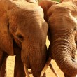 Elephants love in Africa — Stock Photo