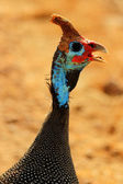 Colorful guinea fowl — Zdjęcie stockowe