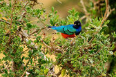 African Purple Glossy Starling — Stock Photo