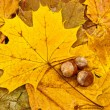 Gold leaf with chestnuts on forest bed background — Stock Photo
