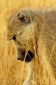 Profile of an african baboon — Stock Photo
