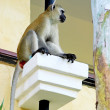 Stock Photo: Africbaboon on hotels balcony in Kenya