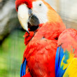 Portrait of a colorful ara parrot — Stock Photo