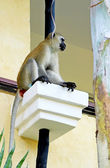 African baboon on hotels balcony in Kenya — Foto Stock