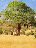 Baobab tree on african savannah in Kenya — Stock Photo