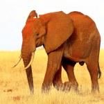 African elephant on savanna plains in Kenya — Stock Photo #37551623