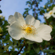 Цветок шиповника. Flower wild rose — Stock Photo