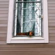 Badger dog looking out of window — Stock Photo