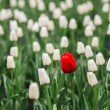One red tulip in a sea of white tulips. — Stock Photo