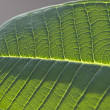 Foto Stock: Details of leaf