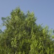 Stock Photo: Low angle view of thuja