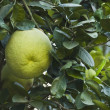 Close-up of limes on tree, Gurgaon — Stock Photo #32898471