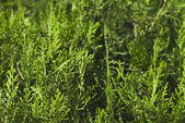 Close-up of thuja, Gurgaon — Stock Photo