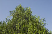 Low angle view of a thuja — Stock Photo