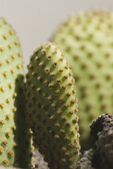 Cactus plant, Gurgaon — Stock Photo
