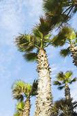 Vista de ângulo baixo das palmeiras — Foto Stock