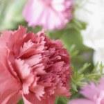 Carnation flowers — Stock Photo