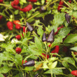 Chili pepper plants — Stock Photo