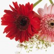 Two Daisy flowers — Stock Photo