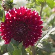Dahlia flower in a garden — Stock Photo