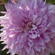 Stock Photo: Dahlia flower