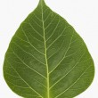 Pipal leaf — Stock Photo
