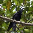 Raven perching on a tree branch — Stock Photo