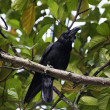 Raven perching on a tree branch — Stock Photo #33044315