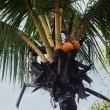 Coconuts on a tree — Stock fotografie