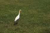 Cattle egret (Bubulcus ibis) in a lawn — Stock Photo