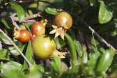 Pomegranate growing on plants — Stock Photo