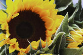 Sunflower (Helianthus annuus) — Stock Photo
