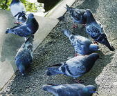Close-up of pigeons — Photo