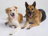 Dos perros sentados juntos — Foto de Stock