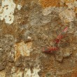 Red Milkweed beetles on a tree bark — Stock Photo