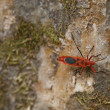 Red Milkweed beetle on a tree bark — Stock Photo