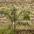 Palm tree in front of a stone wall — Photo