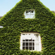 House covered with ivy — Stock Photo