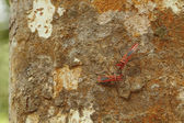 Red Milkweed beetles on a tree bark — Foto Stock