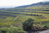 Crop in a vineyard — Stock Photo