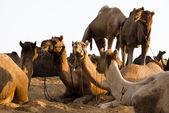 Camels at Pushkar Camel Fair — Stock Photo