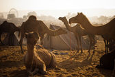 Camels at Pushkar Camel Fair — Stock Photo