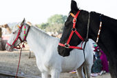 Horses at Pushkar Camel Fair — ストック写真