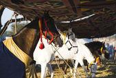 Horses at Pushkar Camel Fair — Stock Photo