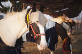 Horses at Pushkar Camel Fair — Foto Stock