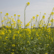 Stock Photo: Mustard field